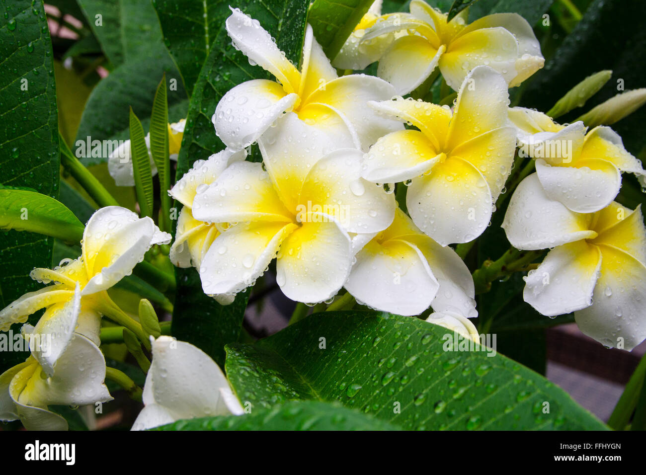 Frangipani Or Plumeria Flower In Drops Of Water After Rain Stock