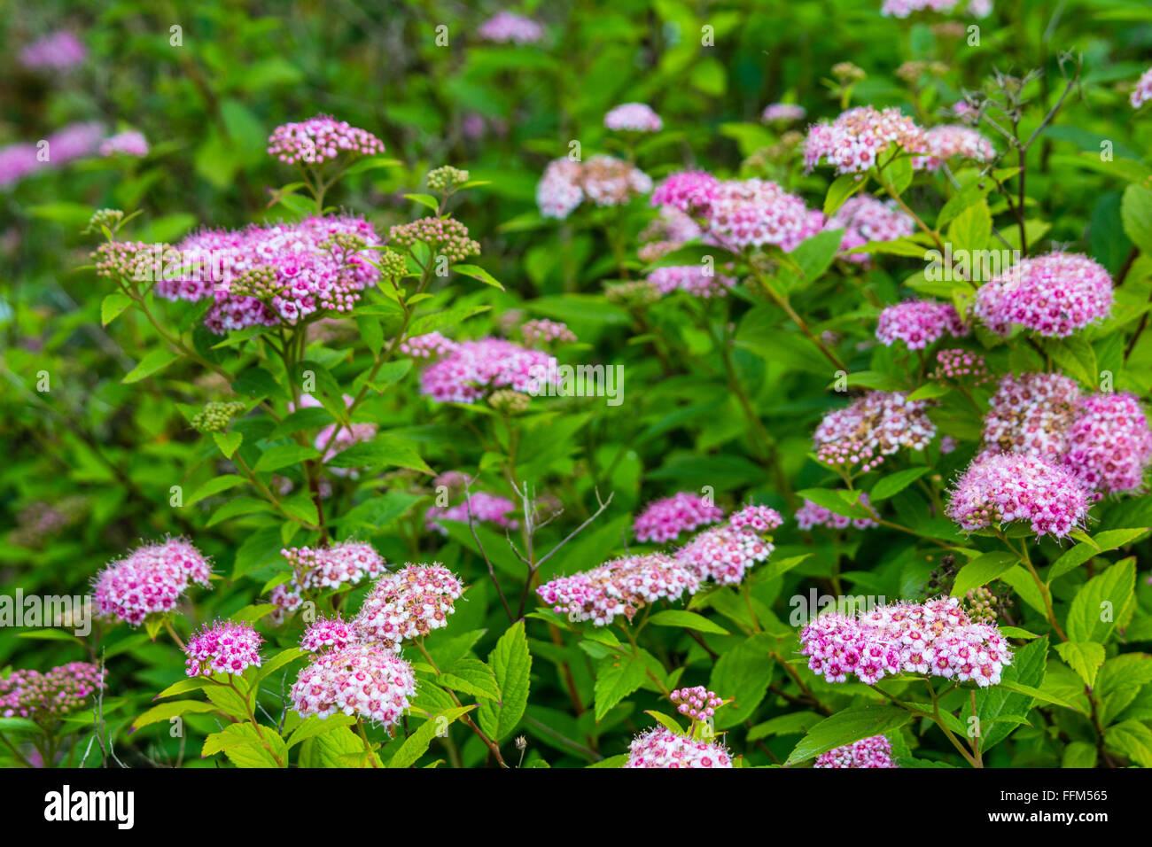 Pink Spirea Flowers Stock Photo 95714813 Alamy