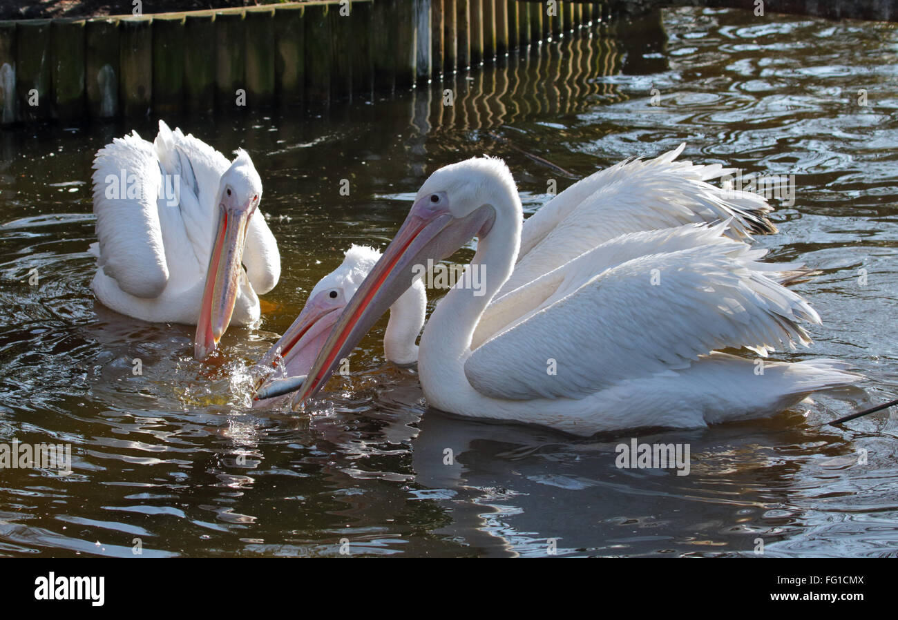 Eastern White Pelicans (pelecanus onocrotalus) feeding on fish - Stock Image