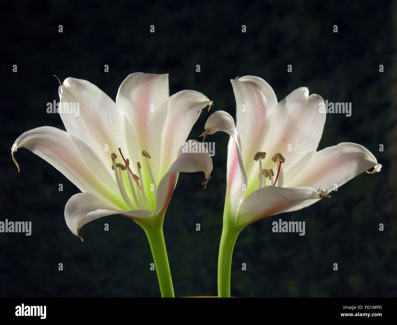 Lily flowers on black background stock photo 95924597 alamy lily flowers on black background izmirmasajfo