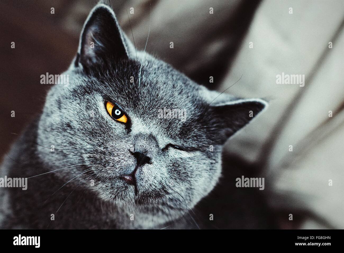 Portrait Close-Up Of Chartreux Cat Winking - Stock Image