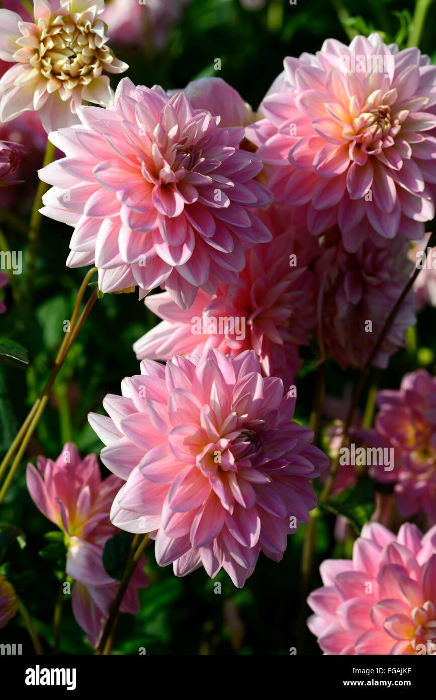 Dahlia Gerrie Hoek Pink Waterlily Dahlias Flower Flowers Bloom Stock