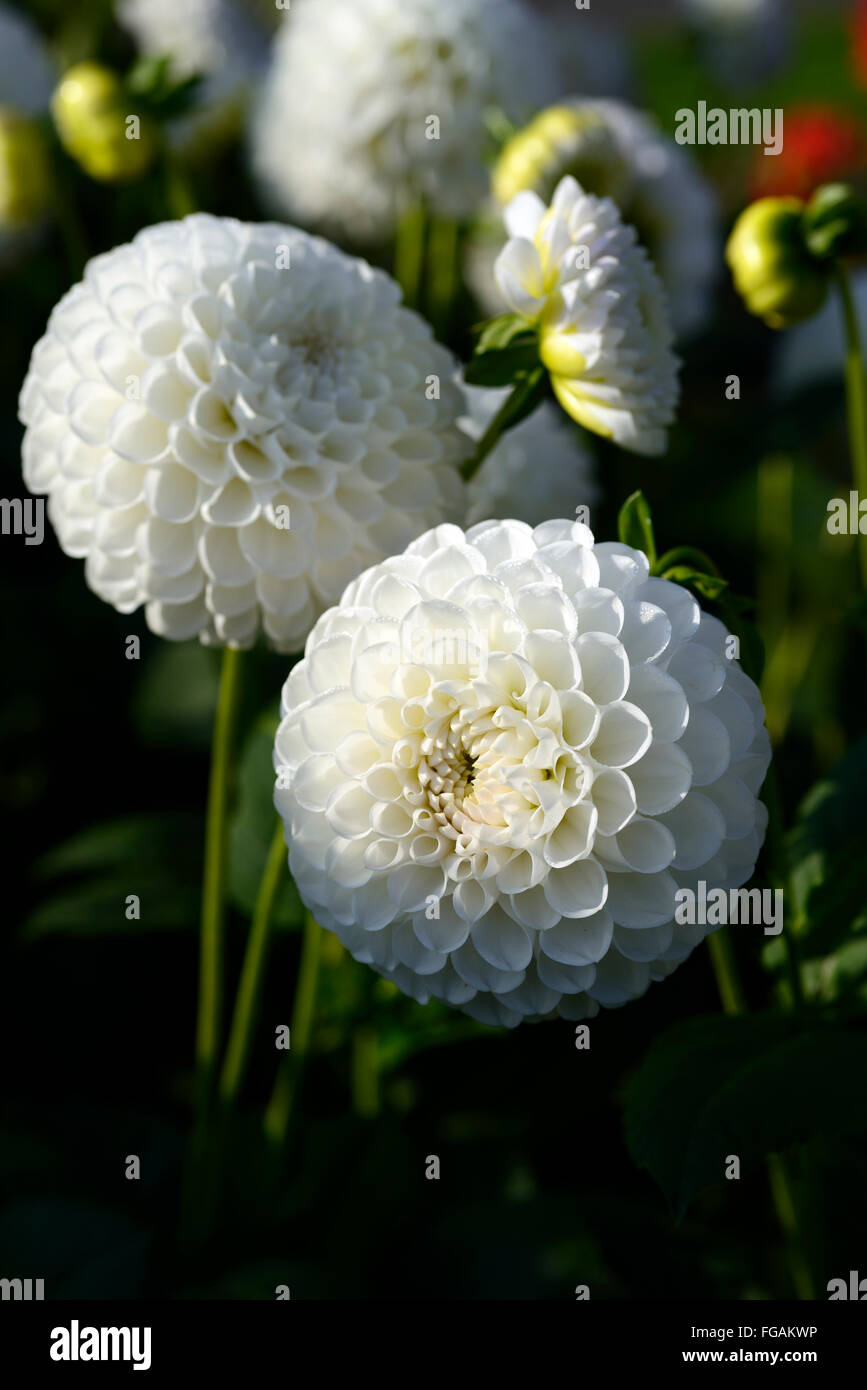 Dahlia lancresse white ball dahlias flower flowers bloom blossom dahlia lancresse white ball dahlias flower flowers bloom blossom perennial tuber tuberous plant rm floral izmirmasajfo