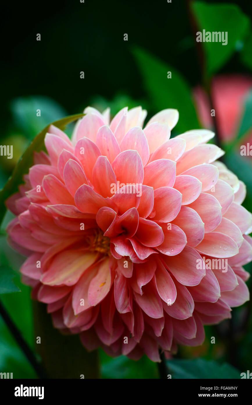 Dahlia New Church Ball Orange Dahlias Flower Flowers Bloom Blossom