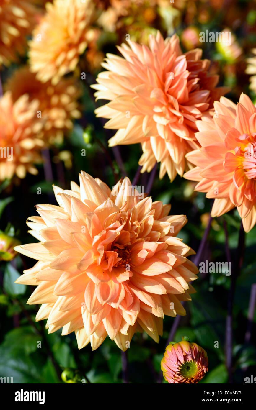 Dahlia Noordwijks Glorie Orange Dinnerplate Dahlias Flower Flowers