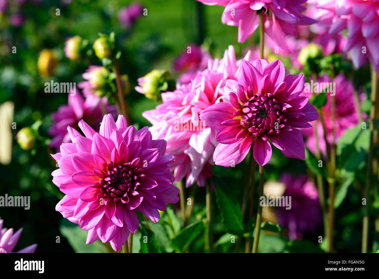 Dahlia Rosella Pink Dinner Plate Dahlias Flower Flowers Bloom