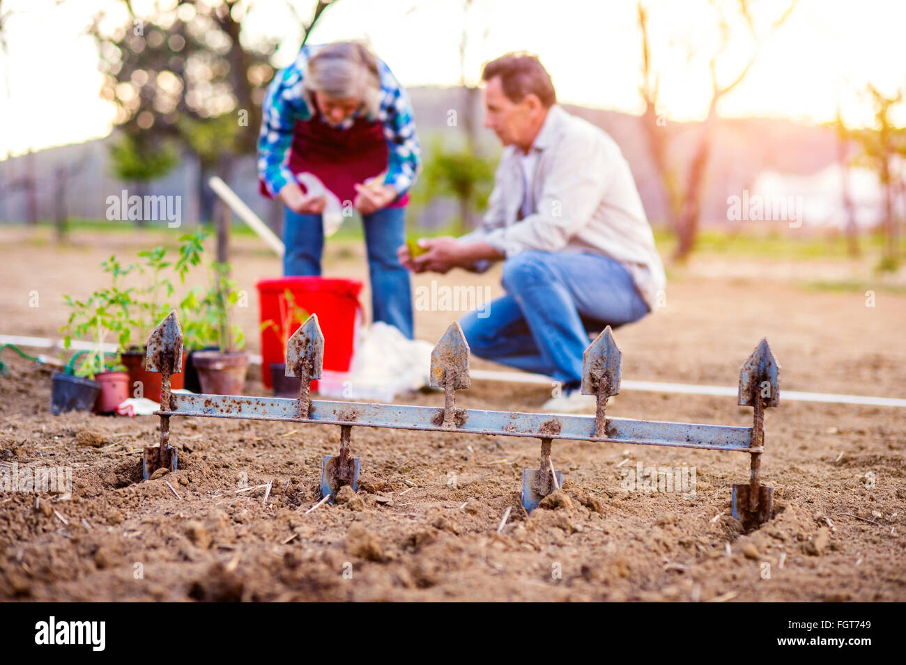 Senior woman and man plowing and planting seeds, garden - Stock Image