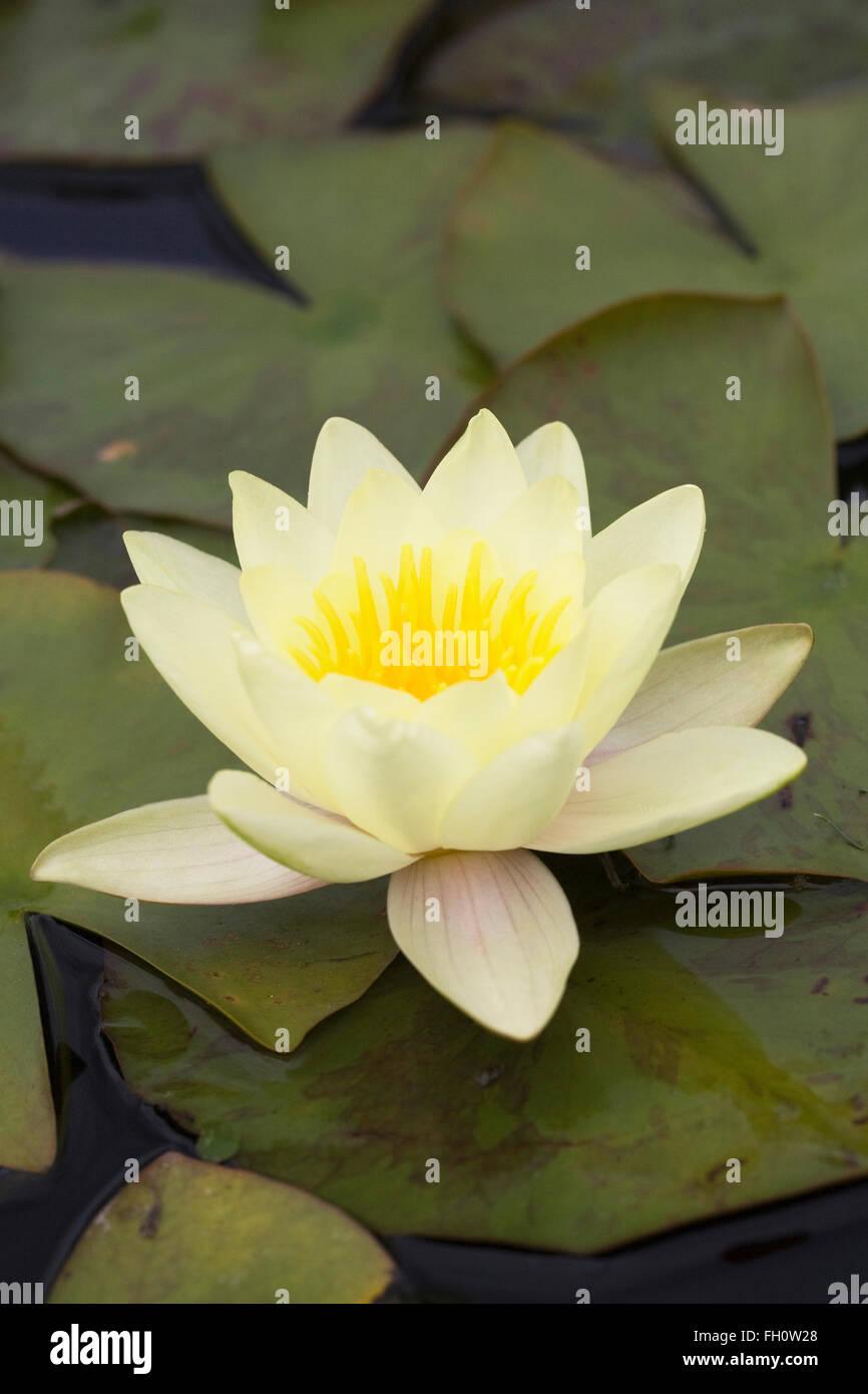 Nymphaea Yellow Waterlily Flowers Stock Photo 96520656 Alamy