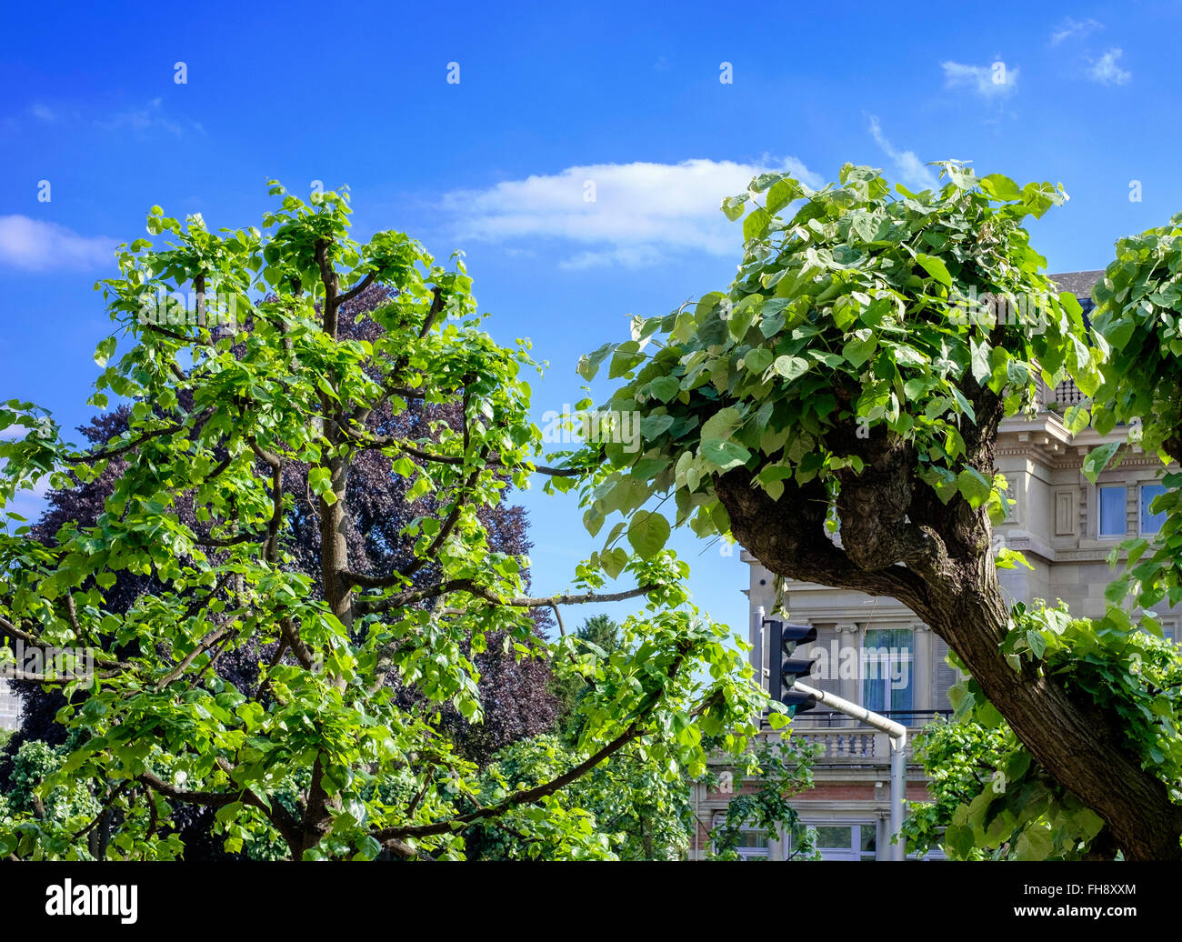 Linden Trees Stock Photos & Linden Trees Stock Images - Alamy