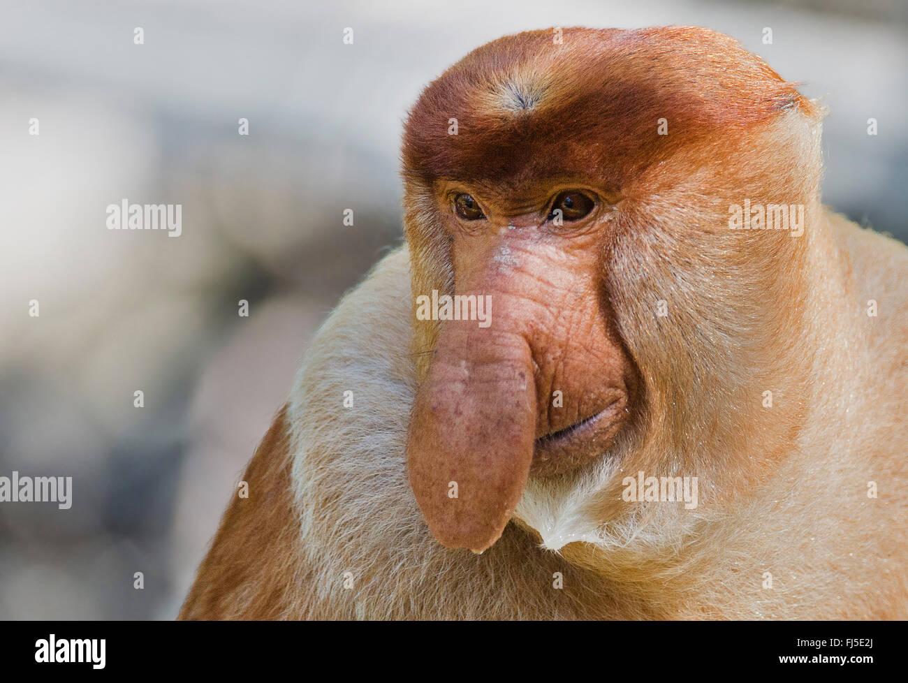 proboscis monkey (Nasalis larvatus), adult male, Malaysia, Borneo, Sabah, Labuk Bay - Stock Image