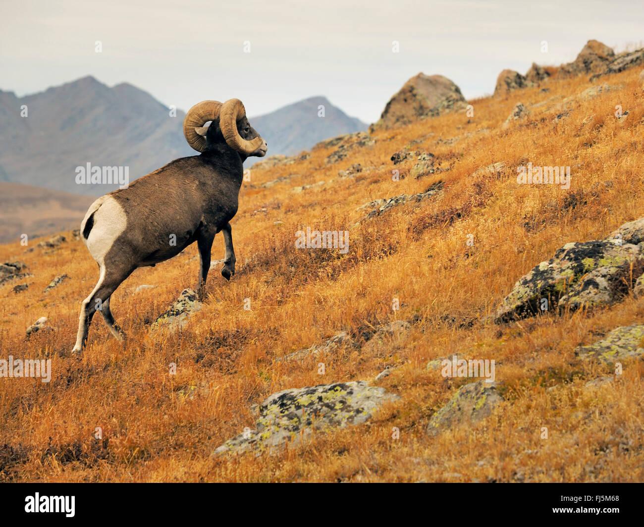 bighorn sheep, American bighorn, mountain sheep (Ovis canadensis), male, USA, Colorado, Rocky Mountain National - Stock Image
