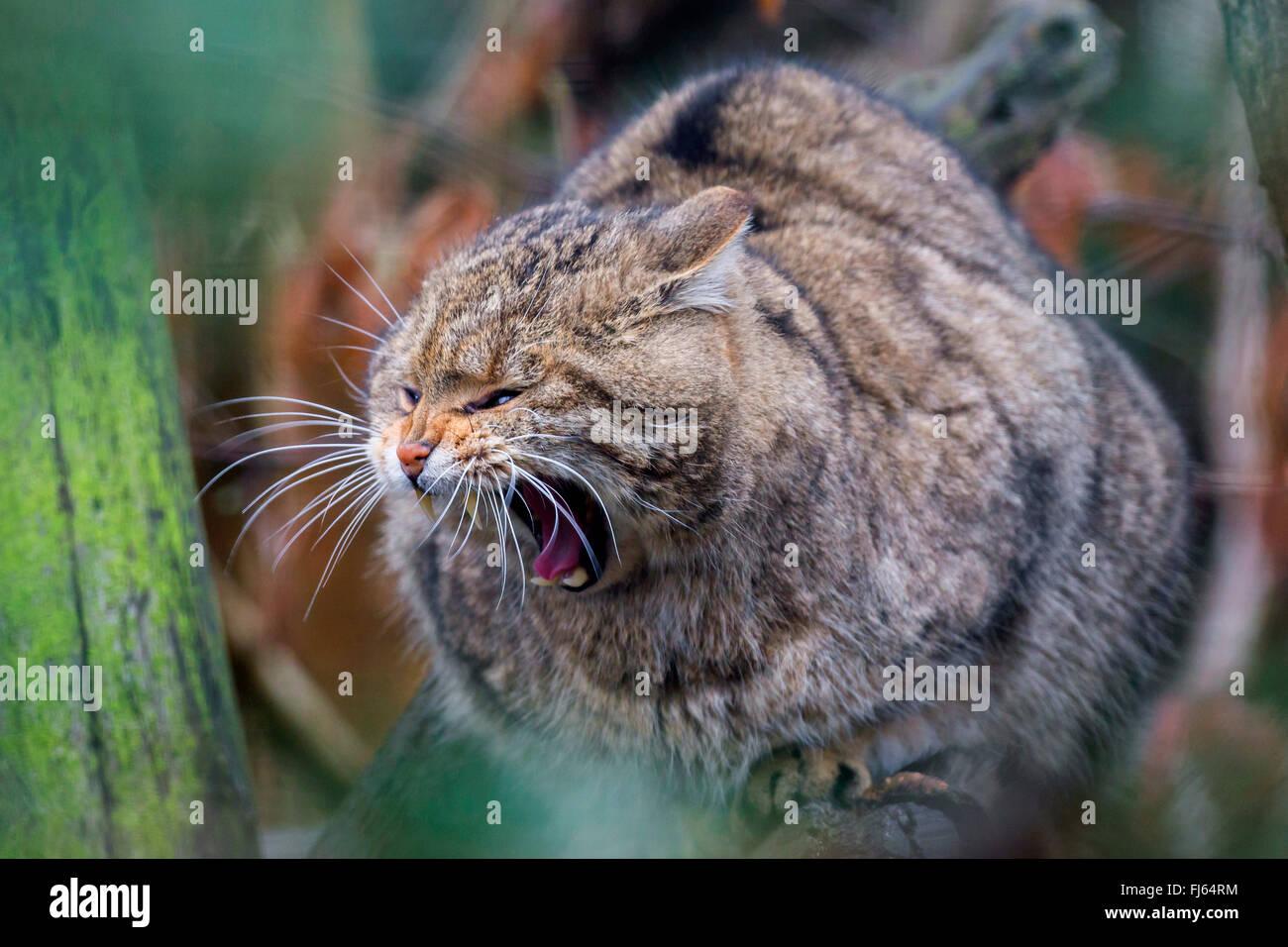 European wildcat, forest wildcat (Felis silvestris silvestris), sits on a tree yawning - Stock Image