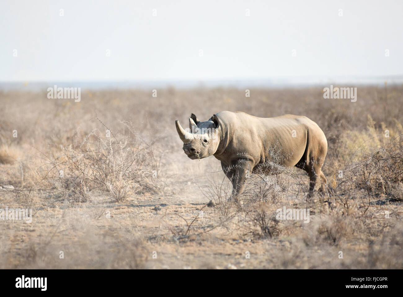 A Black Rhino - Stock Image