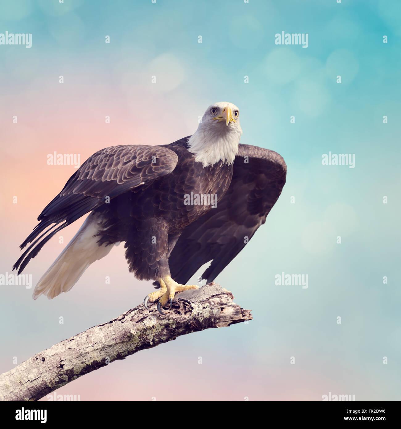 A Bald Eagle  Taking off - Stock Image