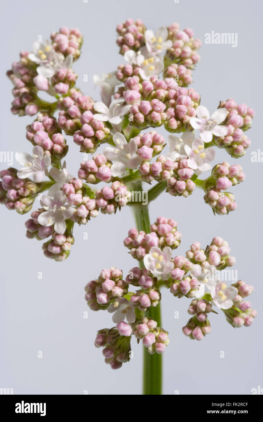 Fresh White And Pink Blooming Allheal Valerian - Stock Image