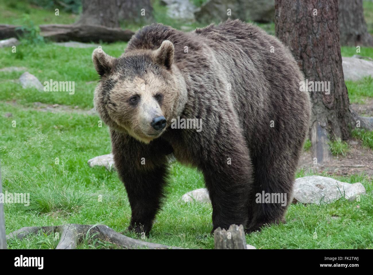European brown bear or Eurasian brown bear (Ursus arctos arctos) in Taiga forest in eastern Finland. Stock Photo
