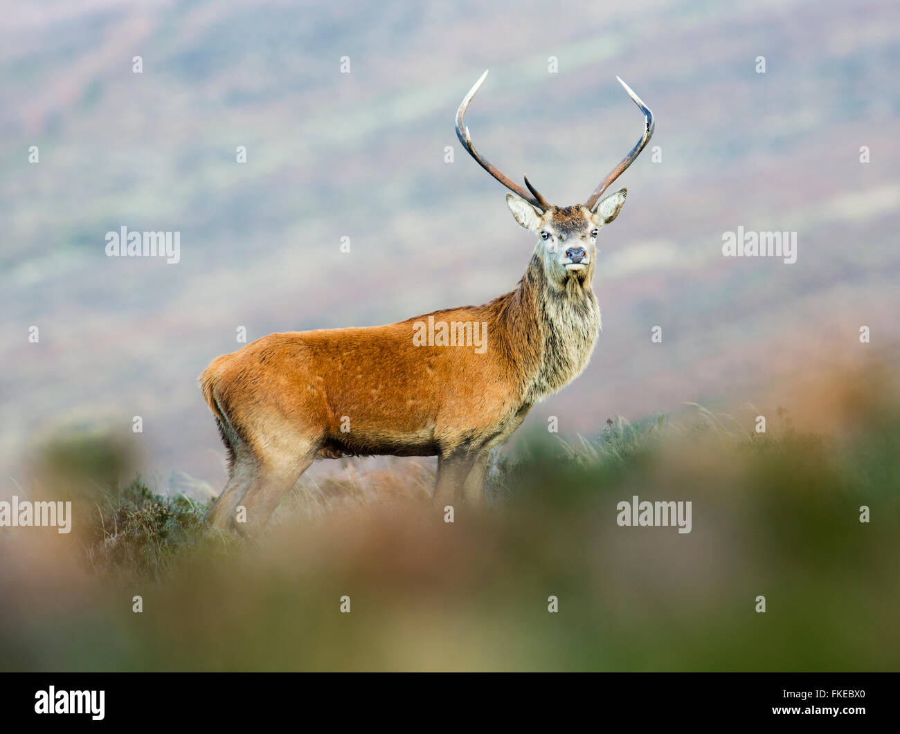 Young red deer stag - Stock Image
