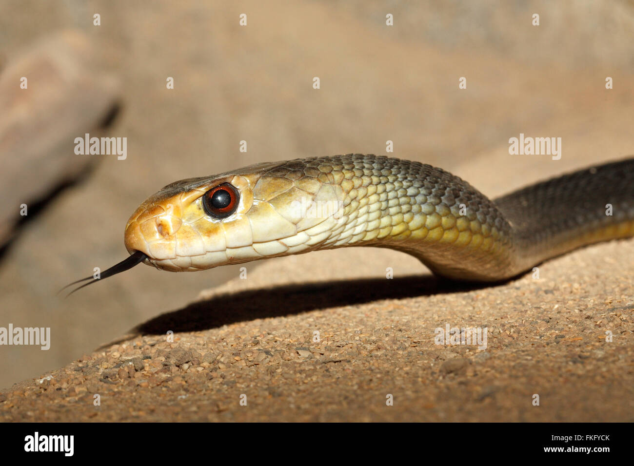 coastal-taipan-snake-oxyuranus-scutellatus-found-in-australia-and-FKFYCK.jpg
