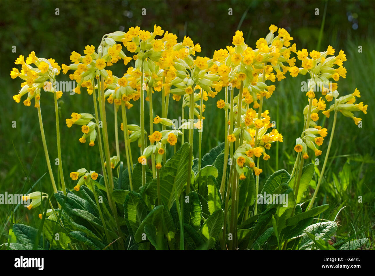 Cowslip (Primula veris) large group of yellow plants with green hairy leaves at base. Taken in landscape format. - Stock Image