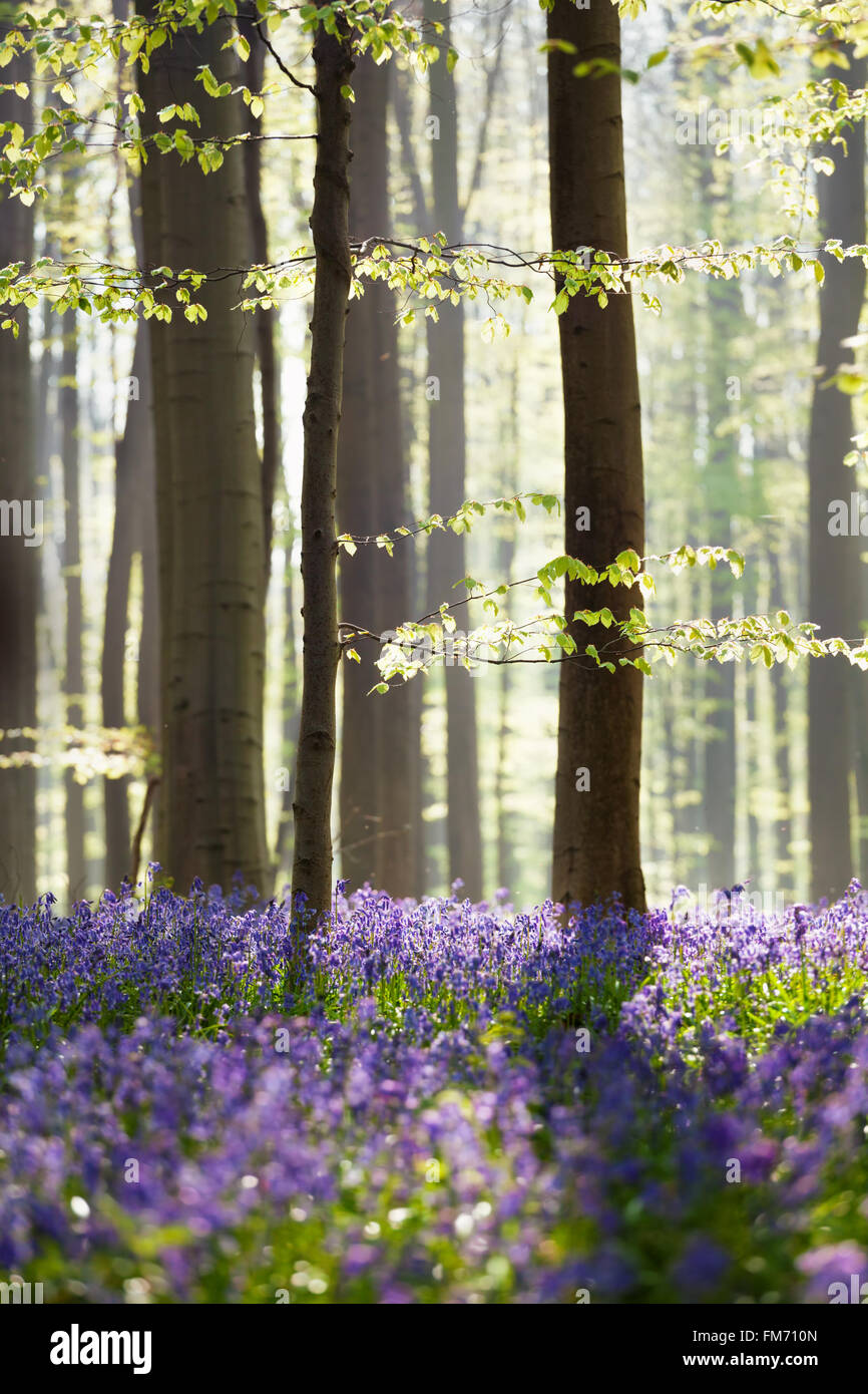 bluebell flowers in spring forest, Hallerbos, Belgium - Stock Image