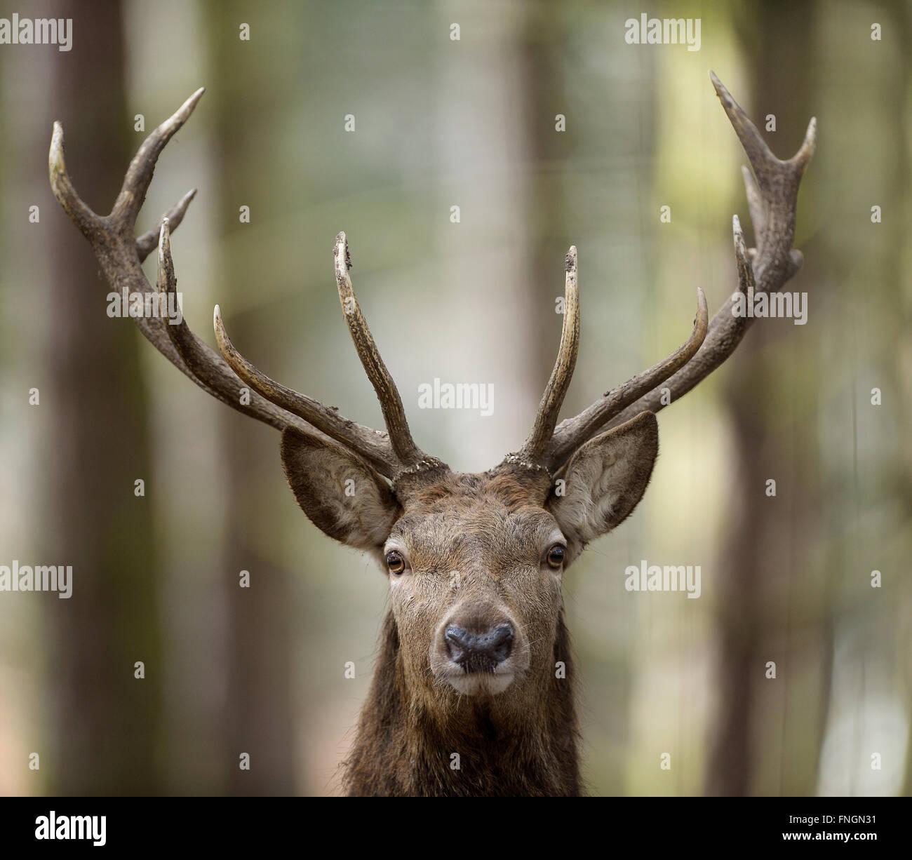 Red Deer Stag, Wildwood, Kent - Stock Image