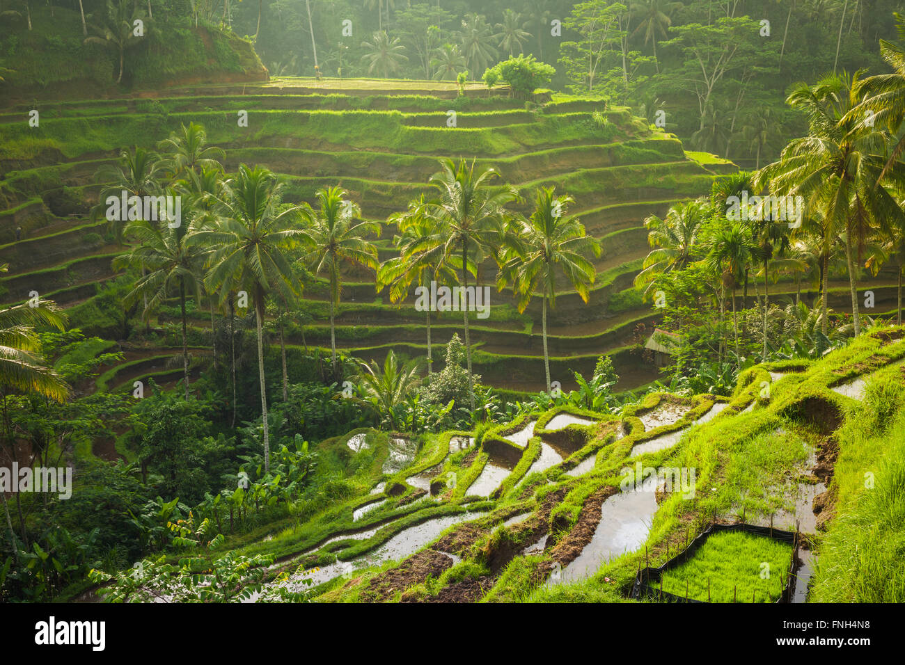 Beautiful rice terraces in the moring light near Tegallalang village, Ubud, Bali, Indonesia. Stock Photo