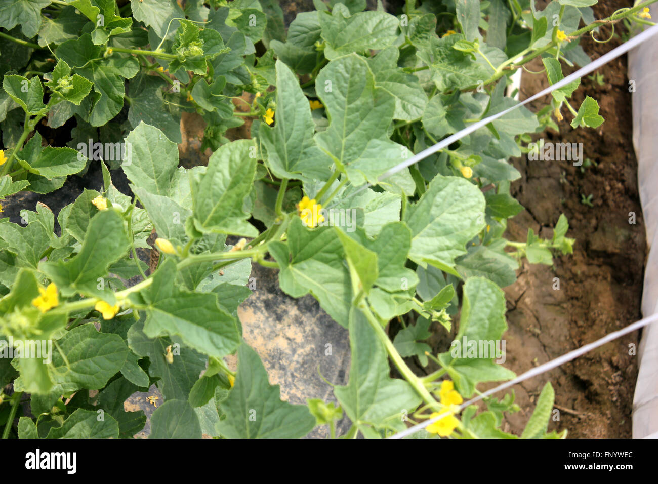 Cucumis melo sarda melon golden yellow melon on vine with tendrils cucumis melo sarda melon golden yellow melon on vine with tendrils small yellow flowers used as table fruit mightylinksfo Choice Image