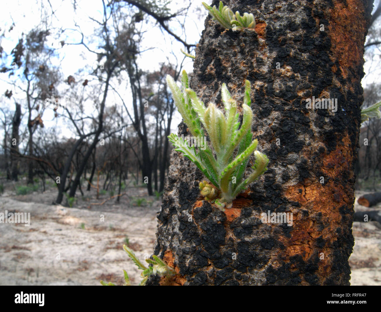 Preston Beach, southwest Western Australia - 22 March 2016 - Tiny new shoots emerging from the blackened trunk of Stock Photo
