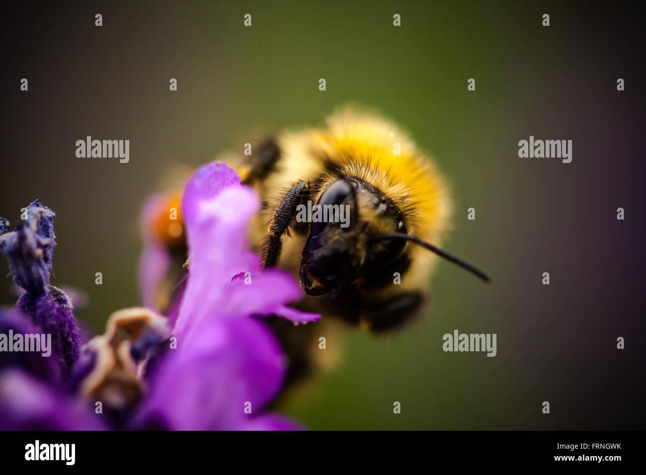 Bumble Bee - Stock Image