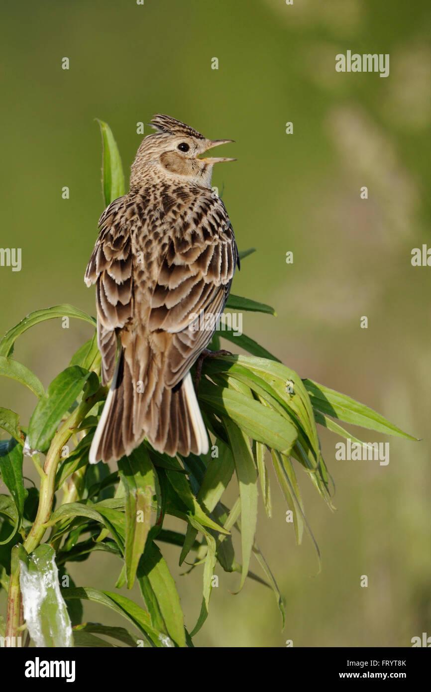 Skylark / Feldlerche ( Alauda arvensis ) facing backwards on an exposed plant, singing its melodious song. - Stock Image