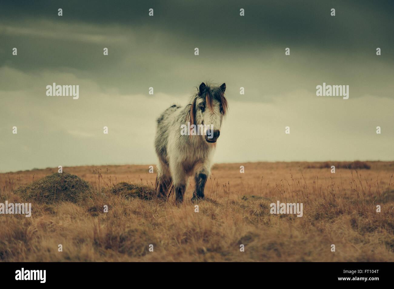 Horse at Brecon Beacons Wales Stock Photo