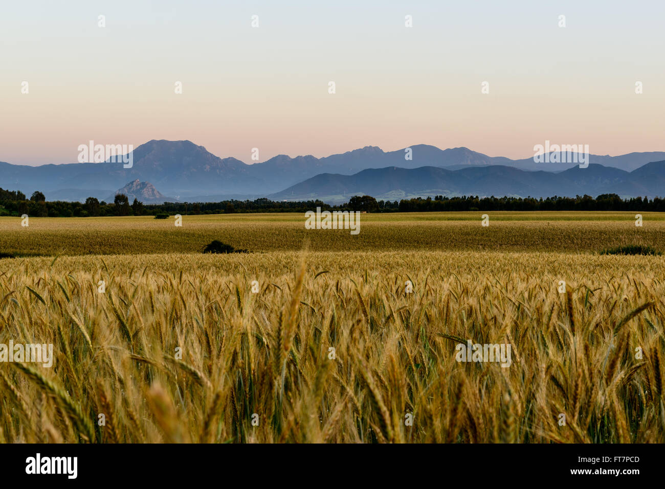 Ripe wheat field before the harvest at sunset in Sardinia. Golden Hour. Stock Photo