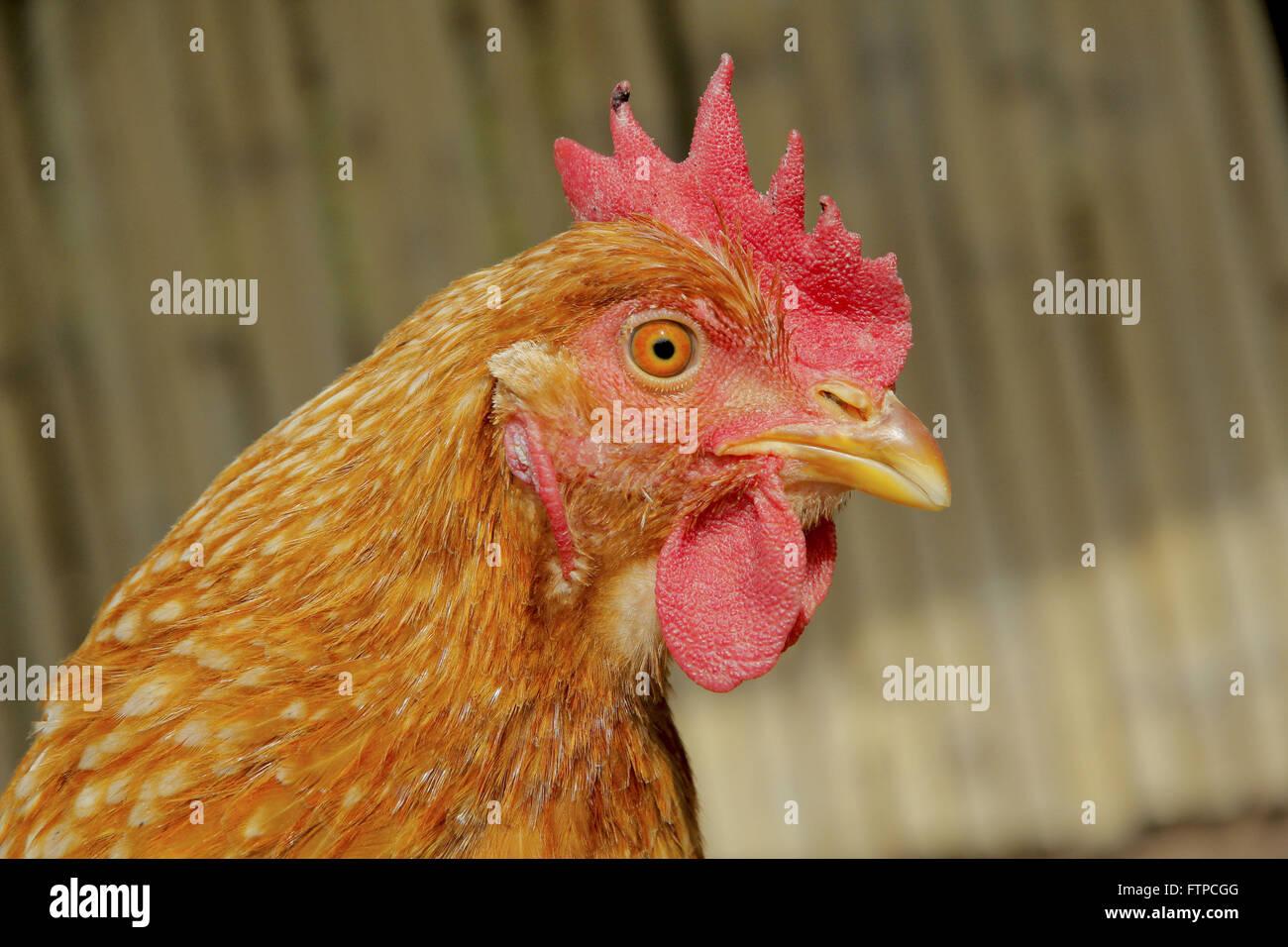 Rooster - Gallus gallus - Stock Image