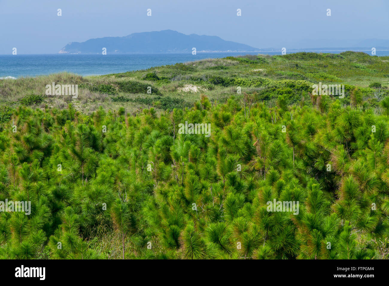 Mozambique Beach in the Red River State Park with pine plantation - Stock Image