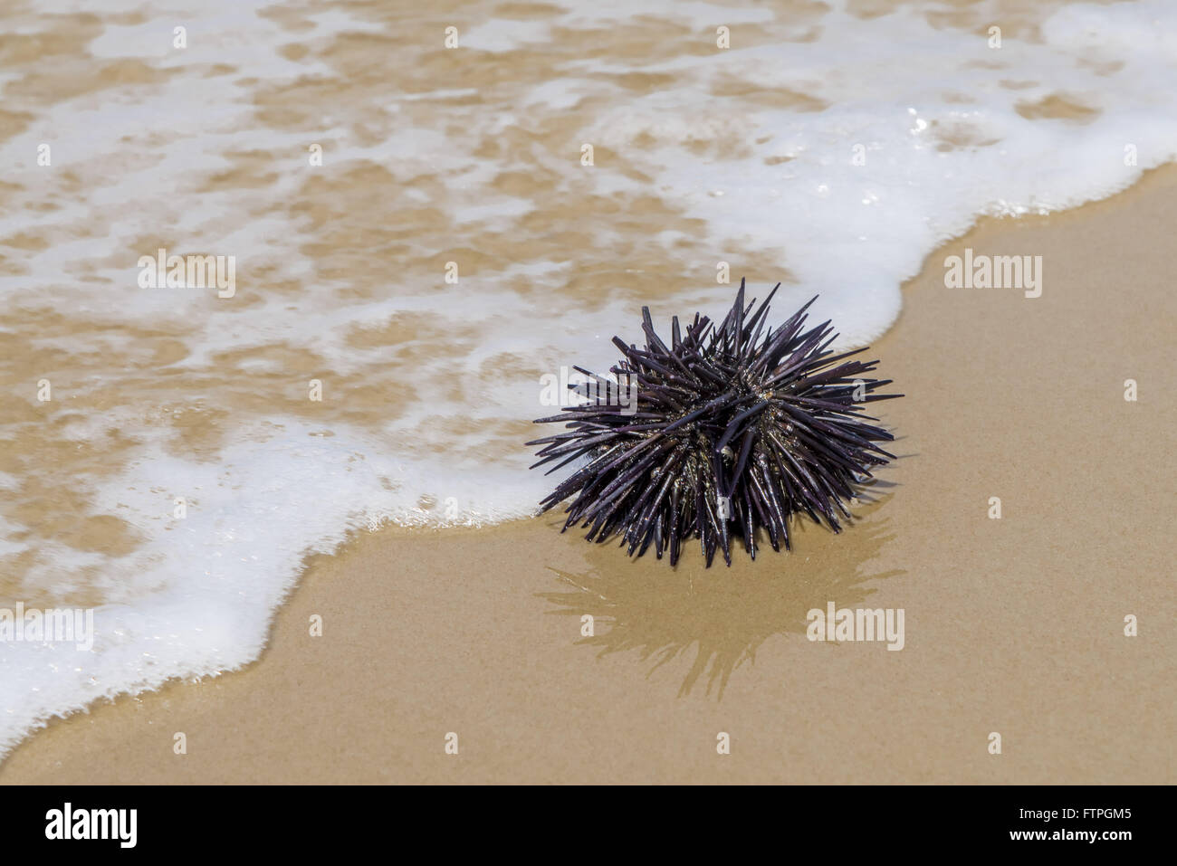 Burr-fish in Mozambique Beach in the Red River State Park - Stock Image