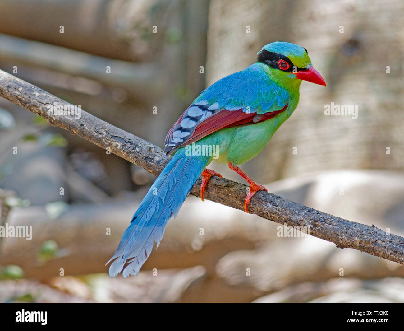 A Common Green Magpie perched on a small branch in the forest in Thailand Stock Photo