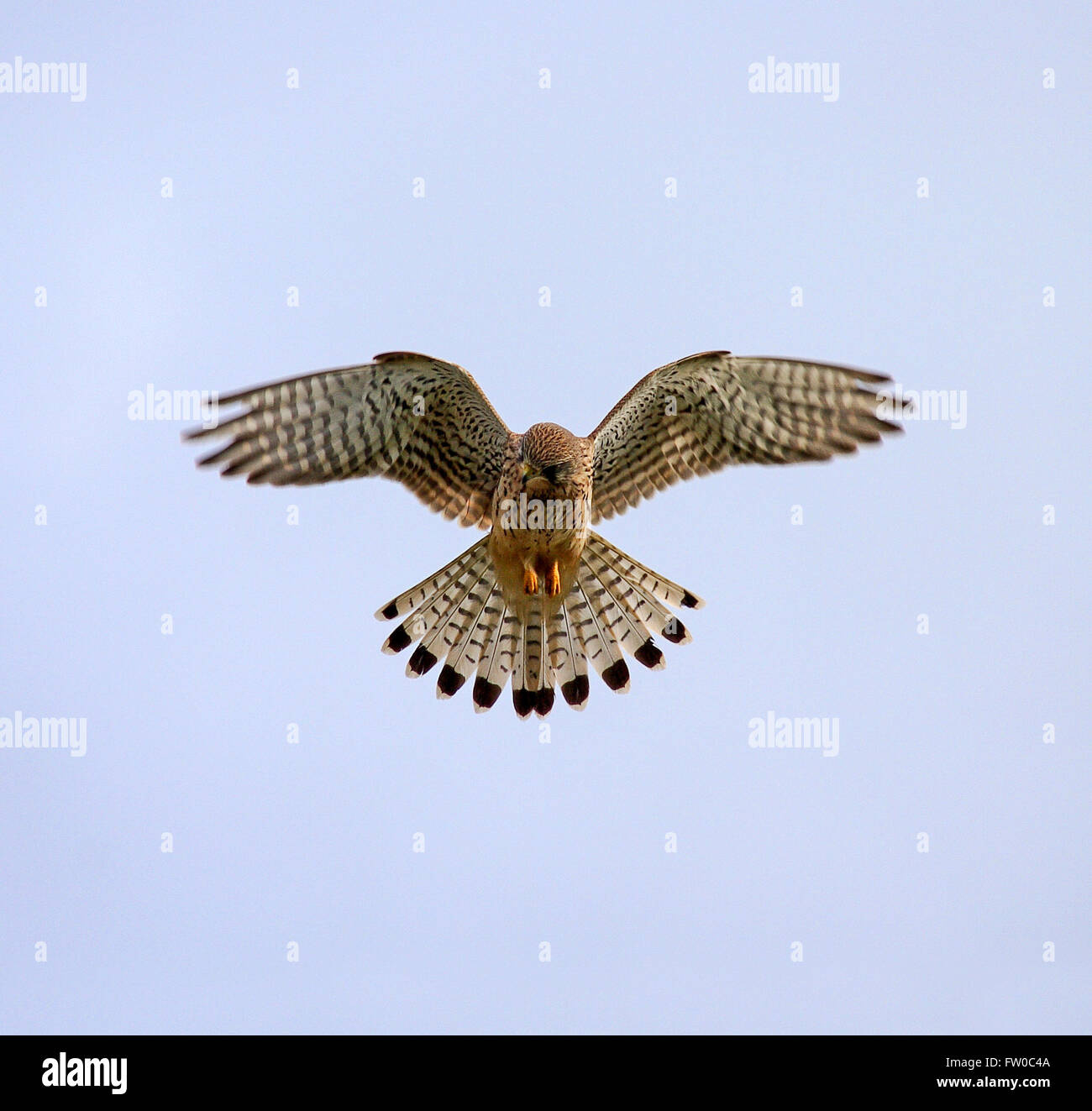 falcon-hovering-looking-for-food-isle-of-wight-hampshire-FW0C4A.jpg