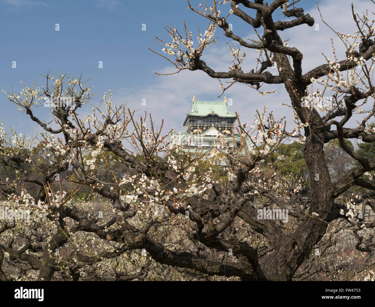Plum blossom at Osaka Castle in early Spring (March) - Stock Image