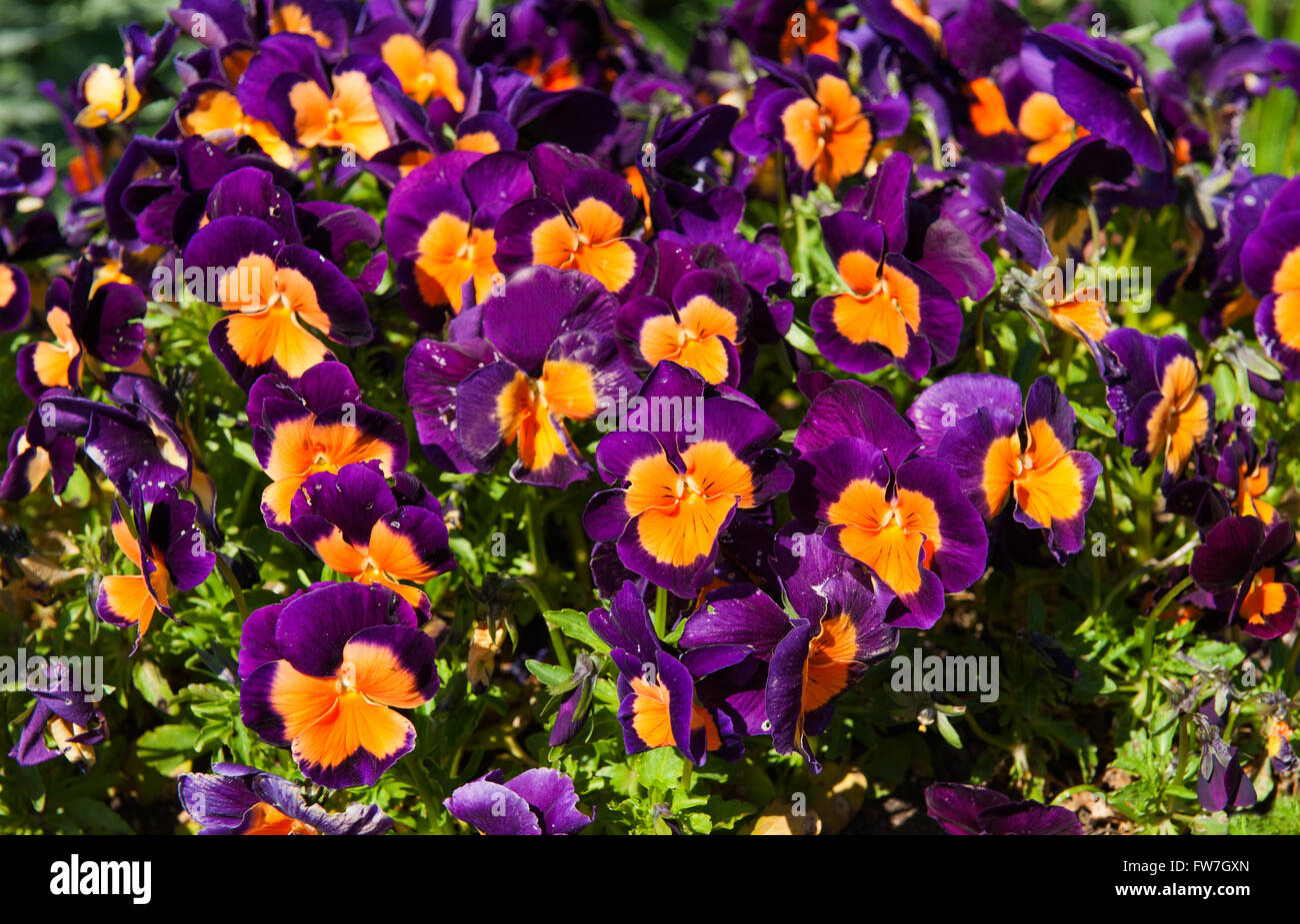 Pink And Orange Flowers In The Garden Latin Name Viola Tricolor