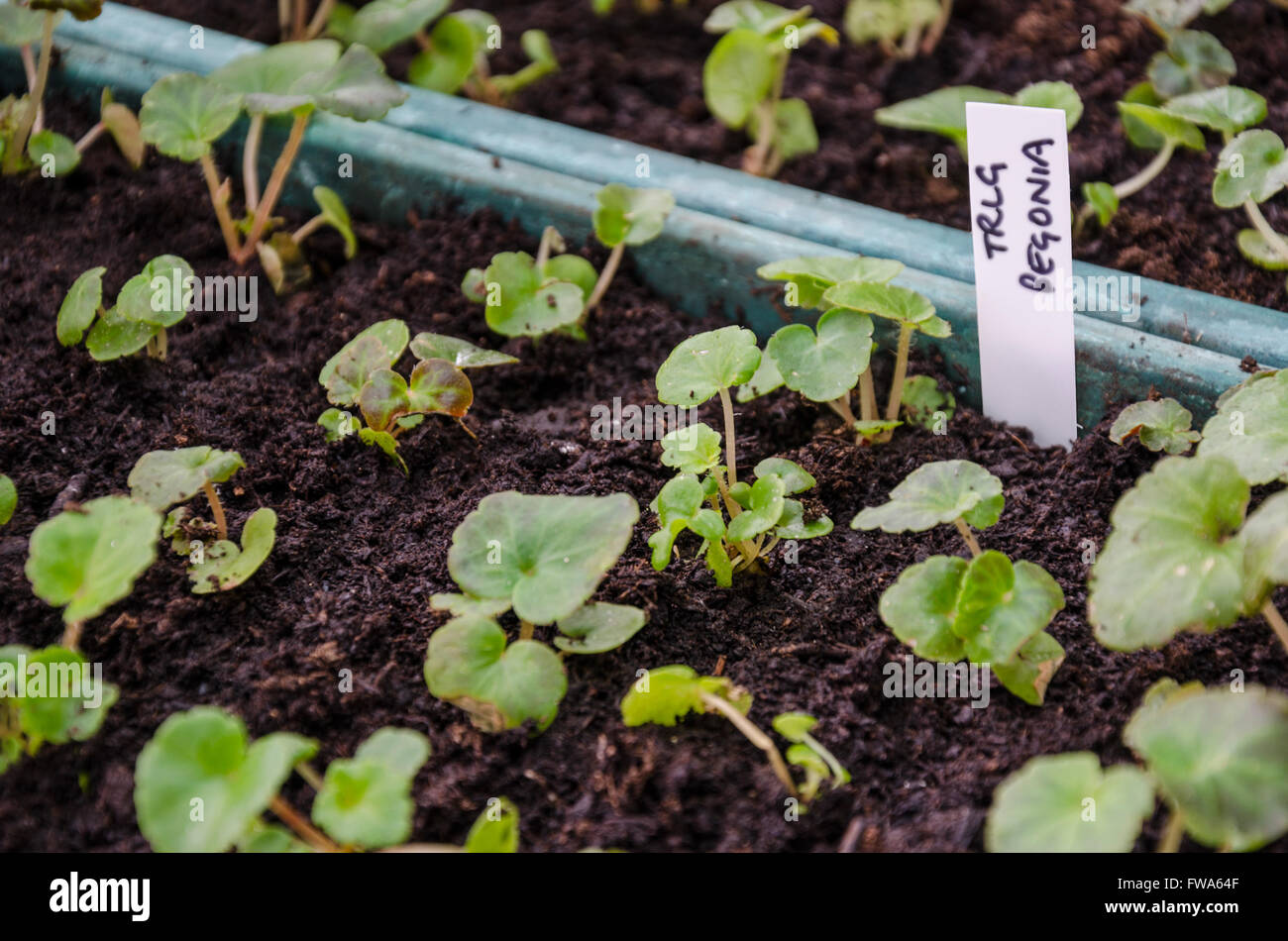 trailing-begonia-seedlings-growing-in-a-seed-tray-FWA64F.jpg
