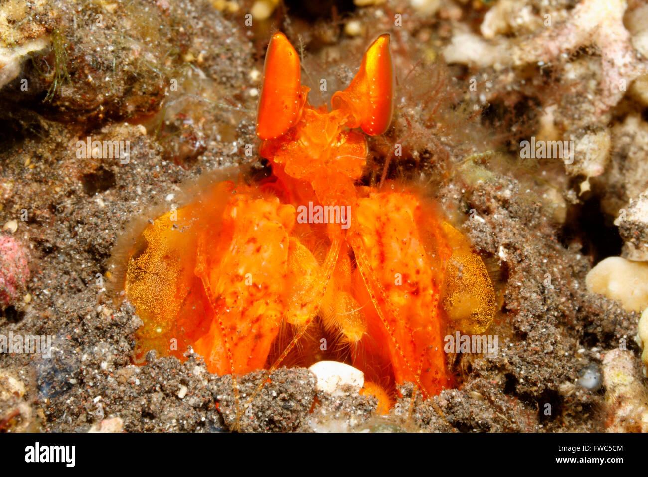orange-mantis-shrimp-also-known-as-golden-mantis-shrimp-lysiosquilloides-FWC5CM.jpg