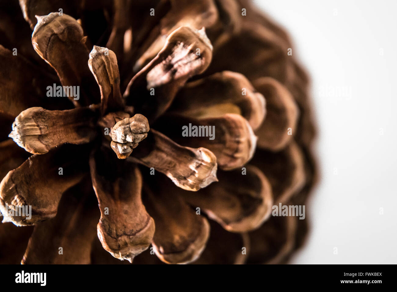Close-Up Of Pine Cone Over White Background Stock Photo