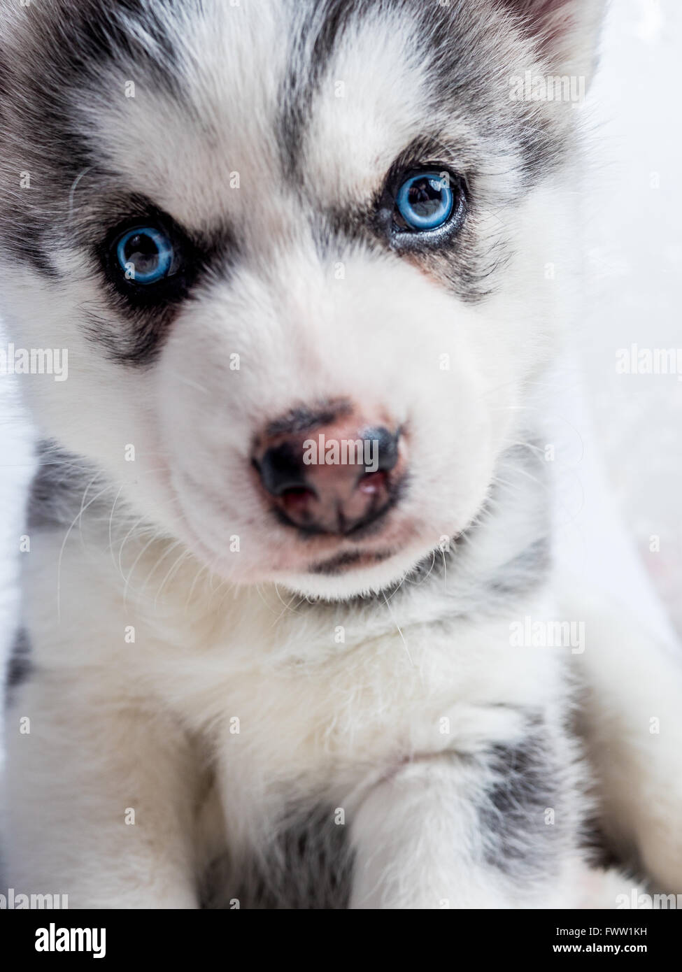 Cute Siberian Husky Puppy With Blue Eyes Stock Photo 101968373 Alamy
