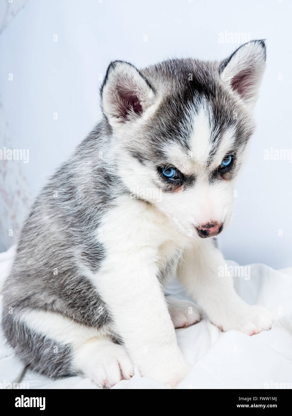 Cute Siberian Husky Puppy With Blue Eyes Stock Photo 101968402 Alamy