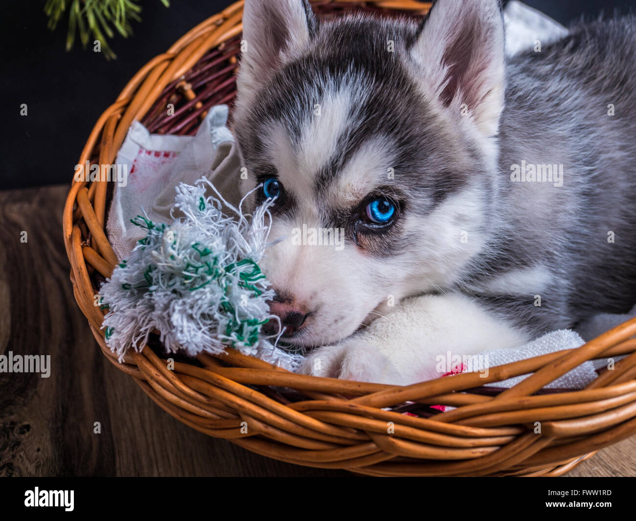Popular Puppy Blue Eye Adorable Dog - cute-siberian-husky-puppy-with-blue-eyes-in-the-basket-FWW1RD  Picture_598687  .jpg