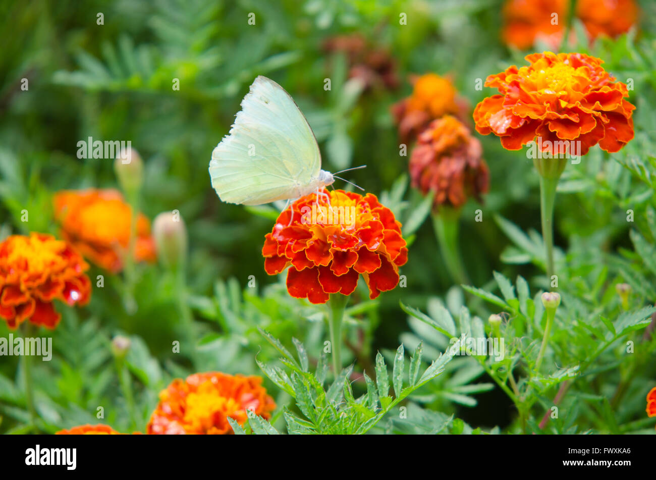 French Marigolds and butterfly Stock Photo
