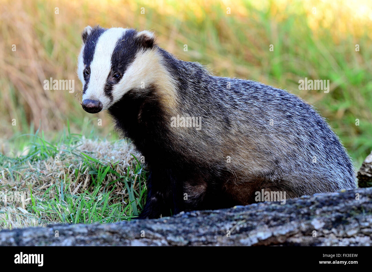 Adult badger at sunset. Dorset, UK Stock Photo