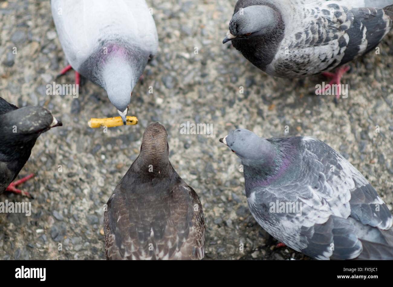 pigeons-standing-in-a-circle-waiting-for