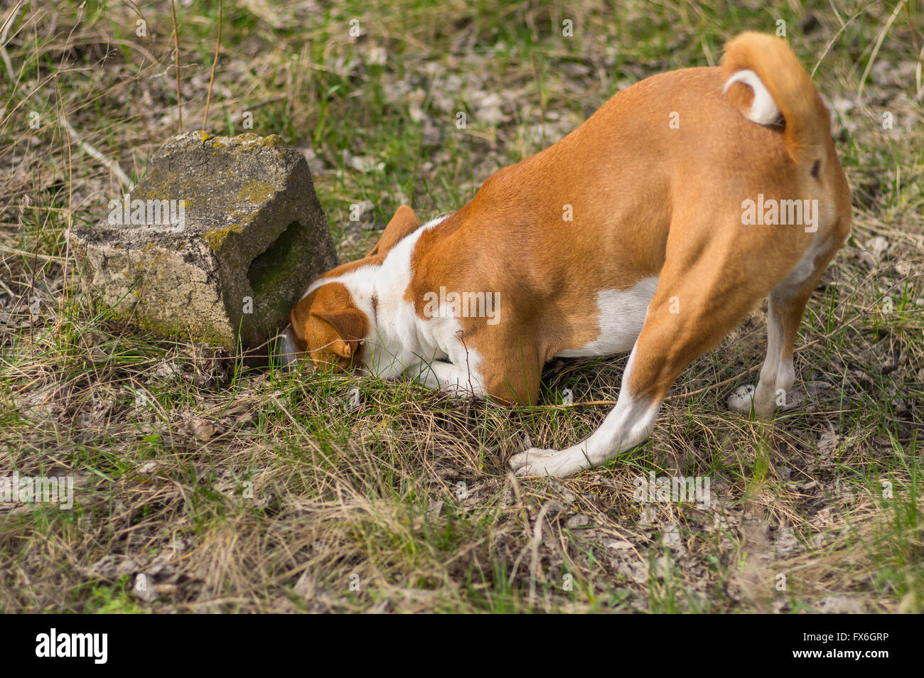 Cunning basenji dog chasing after rodent which hiding under a stone - Stock Image