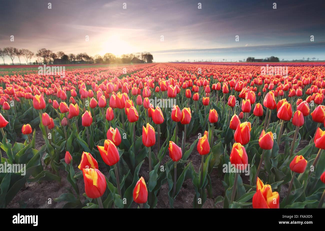 red tulips field at sunrise, Flevoland, Netherlands - Stock Image